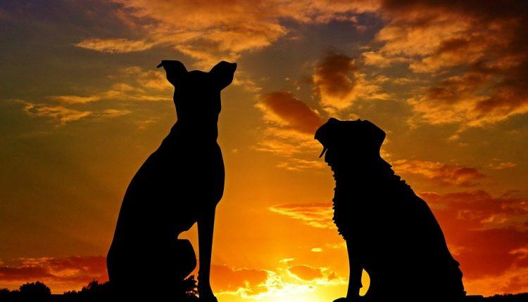 Psy atakują turystów w Giżach